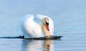 湖面上静静呆着的天鹅摄影高清图片