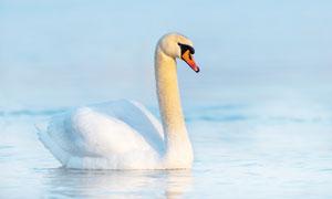 水面上游水的天鹅特写摄影高清图片