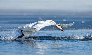 激荡出水花展翅的天鹅摄影高清图片