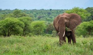 在草原上吃青草的大象摄影高清图片