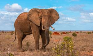 在草原四处觅食的大象摄影高清图片
