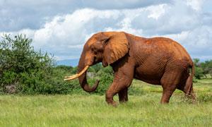 草原上形单影只的大象摄影高清图片