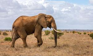 草原上一只掉队的大象摄影高清图片
