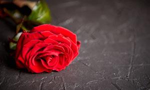 一朵鮮艷的紅色玫瑰花攝影高清圖片