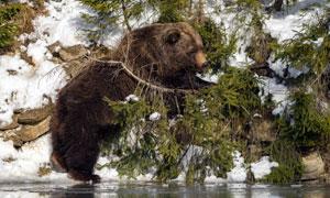 在河邊樹叢中覓食的熊攝影高清圖片