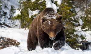雪后出来觅食的熊动物摄影高清图片