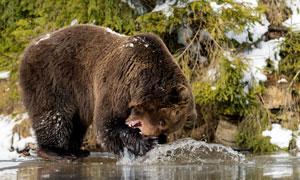 正在水边嬉戏玩耍的熊摄影高清图片