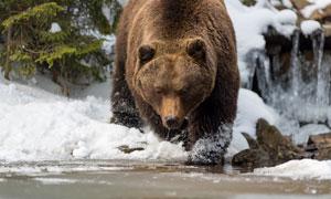 一只饥肠辘辘出来觅食的熊高清图片
