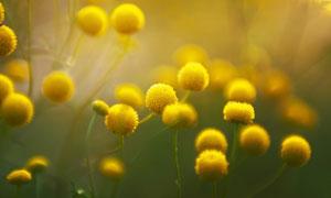 開出球狀花的花卉植物攝影高清圖片