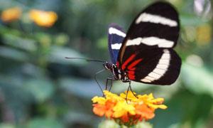 花朵上停留授粉的蝴蝶摄影高清图片