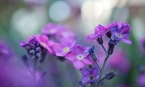 在野外綻放的紫色花朵攝影高清圖片