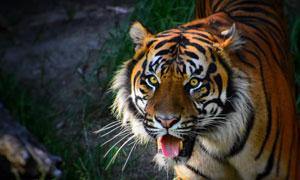树林中的一只凶猛老虎摄影高清图片