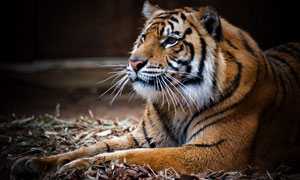 动物园里的一只大老虎摄影高清图片