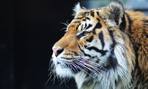 一只望着远处的大老虎侧面摄影图片