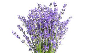 白瓷瓶里的紫色薰衣草摄影高清图片