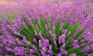 野外的薰衣草花簇美景摄影高清图片