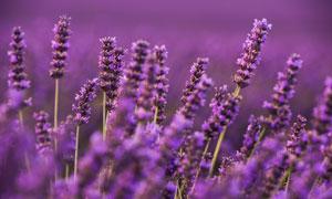 在風中搖曳的薰衣草叢攝影高清圖片