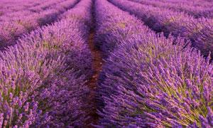 浪漫紫色薰衣草种植园风光摄影图片