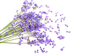 紫色花瓣與薰衣草特寫攝影高清圖片