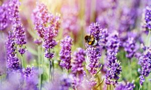 引來蜜蜂光顧的薰衣草攝影高清圖片