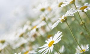 田地里的菊花花卉植物摄影高清图片