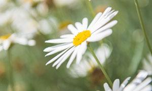 花叢中盛開的菊花特寫攝影高清圖片