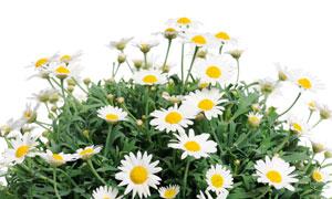 綻放的小菊花花卉植物攝影高清圖片