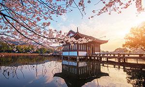 春季西湖边上的桃花树摄影图片
