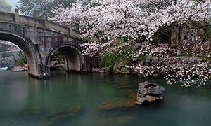 杭州西湖太子湾公园樱花树摄影图片