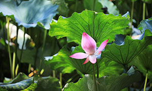 荷花池中含苞待放的荷花攝影圖片