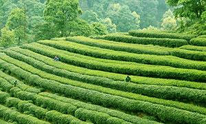 在茶山上采茶的茶农高清摄影图片
