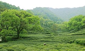 梅家坞茶园茶山美景摄影图片