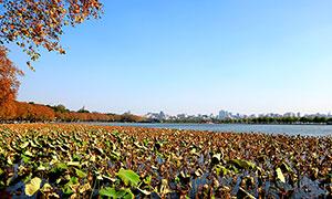 秋季西湖中的荷叶和湖边枫叶摄影图片