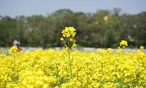 春天美丽的油菜花海摄影图片