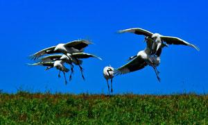 在草地上嬉戲的幾只丹頂鶴高清圖片