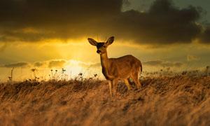 野外荒草叢中的一只鹿攝影高清圖片