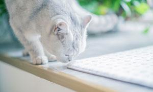 聞著什么氣味的貓主子特寫高清圖片
