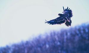天空中展翅翱翔的老鷹攝影高清圖片