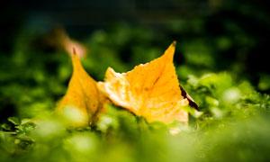 落在草地上的两枚树叶摄影高清图片