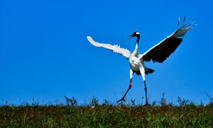 在草地上展翅跳舞的丹頂鶴高清圖片