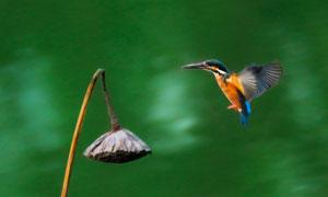 湊近枯蓮蓬的一只翠鳥攝影高清圖片