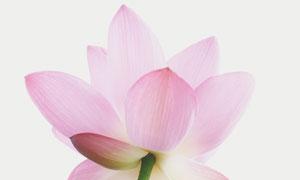 淡淡粉红色的荷花特写摄影高清图片