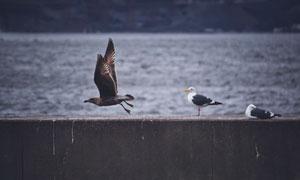 信天翁與展翅高飛的鳥攝影高清圖片