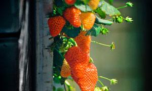 架子上的草莓近景特写摄影高清图片