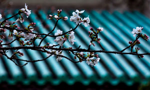 樹枝上紛紛綻放的小花攝影高清圖片