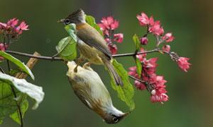 在鲜花树枝上下翻舞的小鸟高清图片