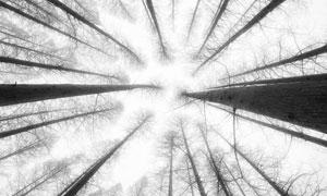 笔直生长入云端的树木摄影高清图片
