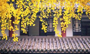 垂下来的黄色银杏叶子摄影高清图片