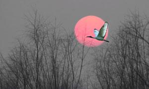红日飞鸟与萧瑟的树木摄影高清图片