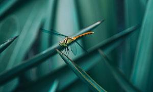 植物叶子上的蜻蜓特写摄影高清图片